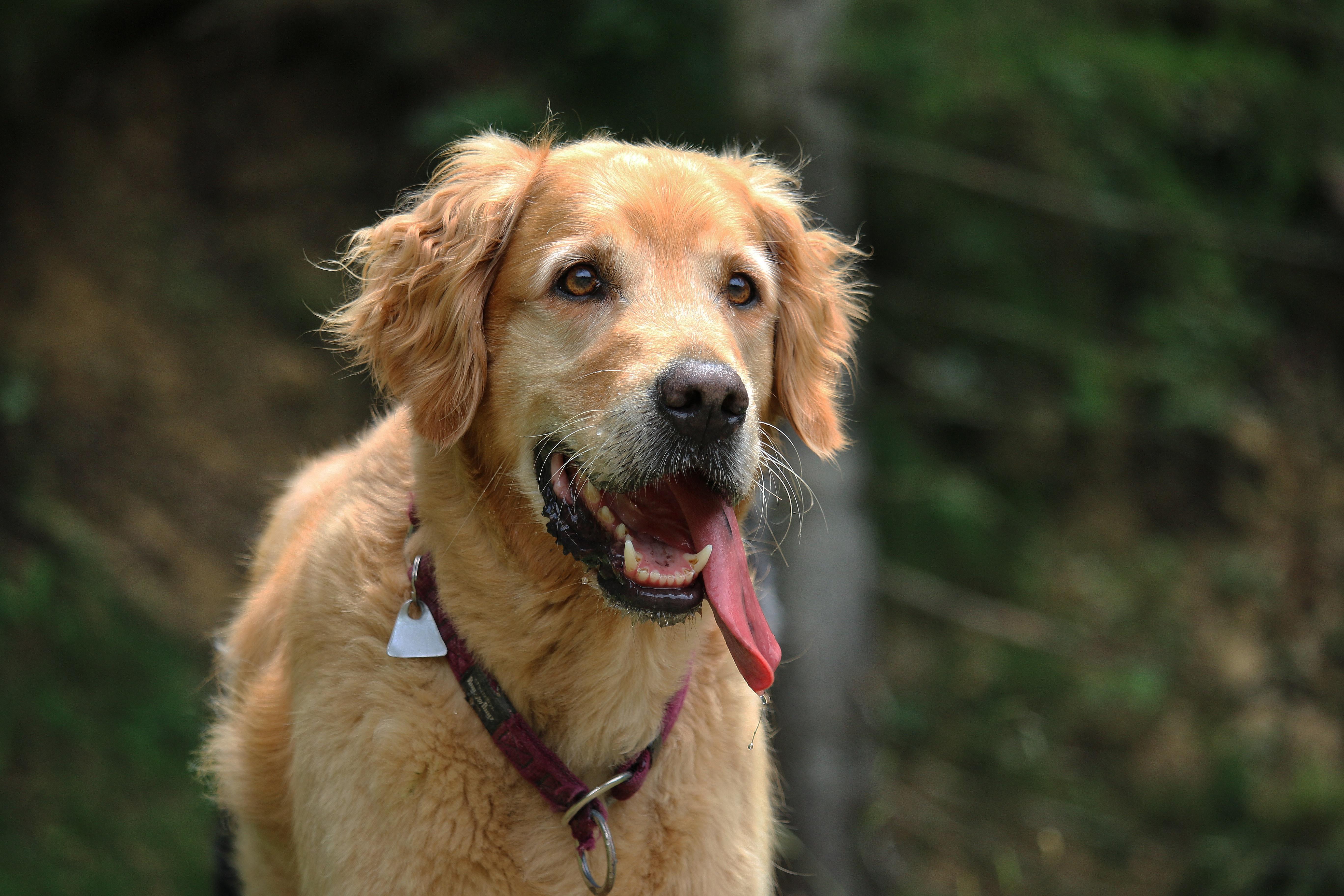 Mein Hund hechelt - Woran kann das liegen